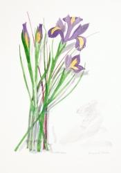 Iris Watercolour Print