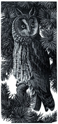 Long Eared Owl Print