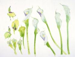 5 Arum Lilies Print