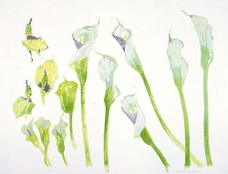 Arum Lilies Print