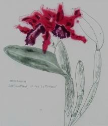 Orchid Miltonia (monochrome) Orchid Miltonia (monochrome) Etching  Orchidaceae Laeliocattleya Chinco La Tuilerie Orchi Print