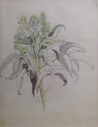 Euphorbia Foetidus Painting
