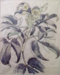 Helleborus Corsicus Painting