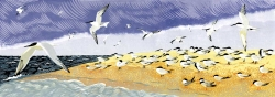 Terns at Blakeney Point Print