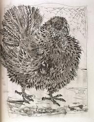 Le Dindon - Suite, Buffon's Histoire Naturelle Print