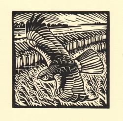 Marsh Harrier 2 Print
