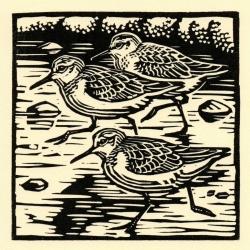 Sanderling Print