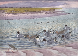 Pintail on the Blackwater Painting