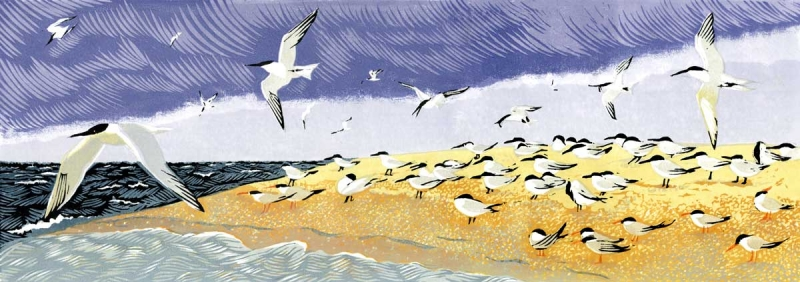 Terns at Blakeney Point